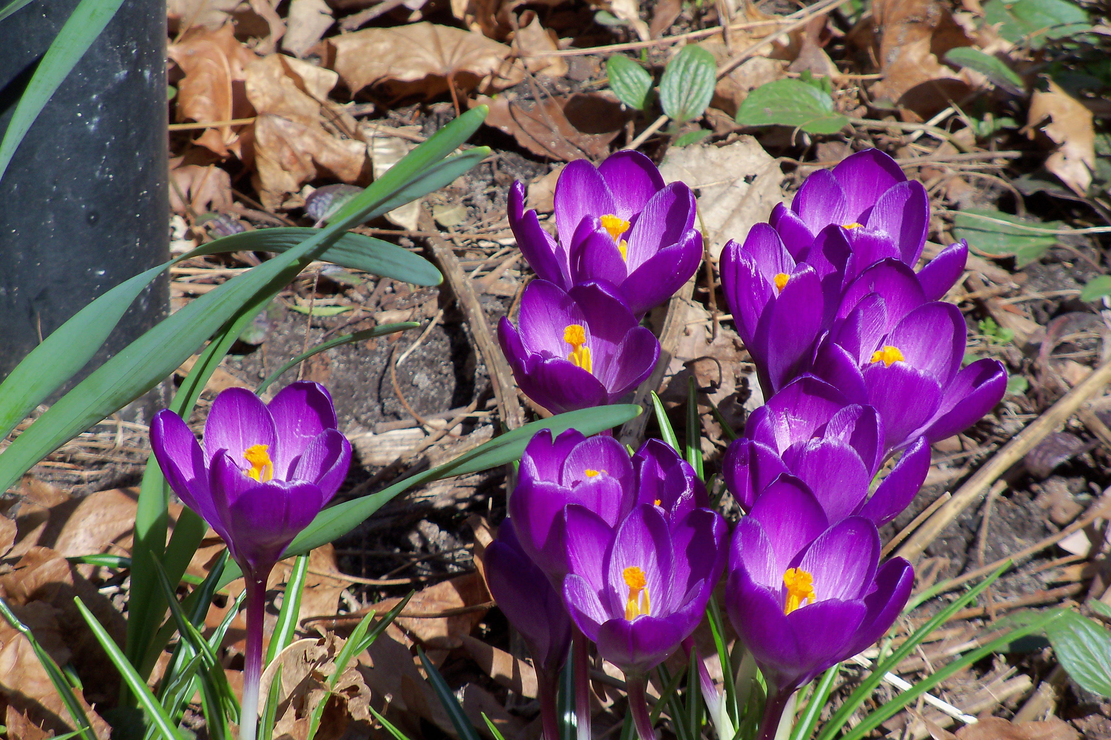A bed of purple tulips with their golden yellow pistils contrasting the leaves colors fading into a white inner leaf.