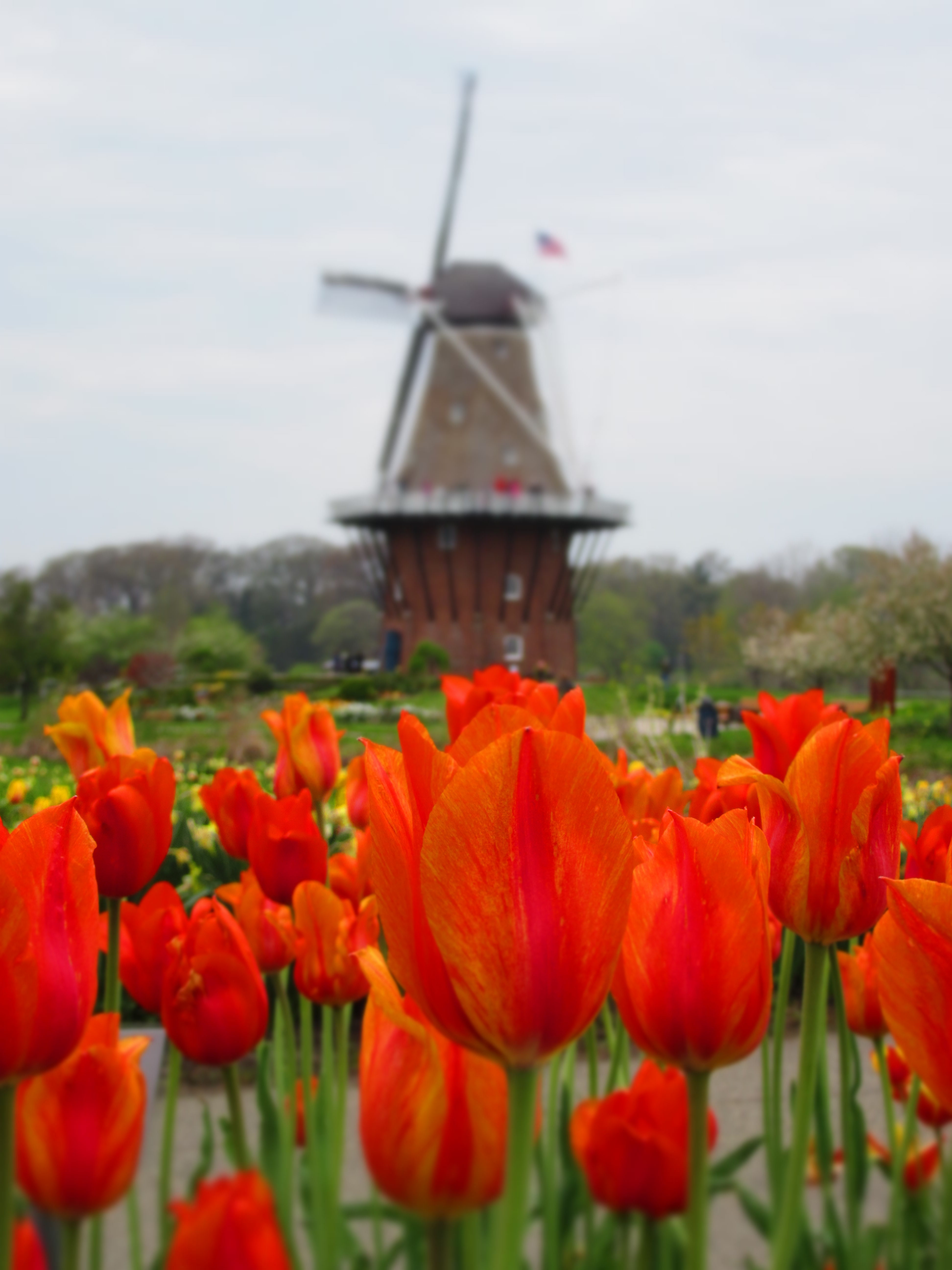 Orange flowers cupped against a slightly overcast sky, are in focus against a background of a windmill amidst yellow flowers and green manicured trees.